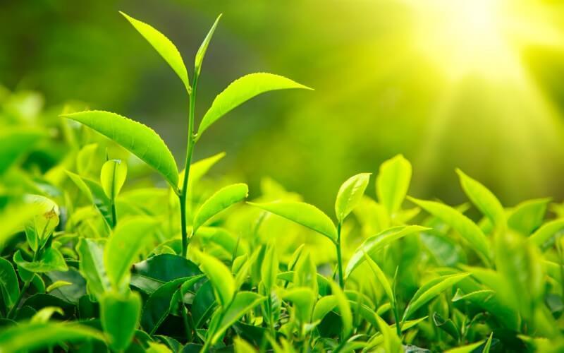 Manfaat teh Hijau Untuk Stress