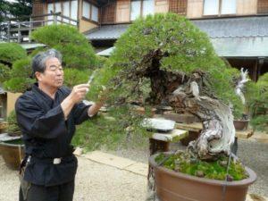 Cara menanam Bonsai