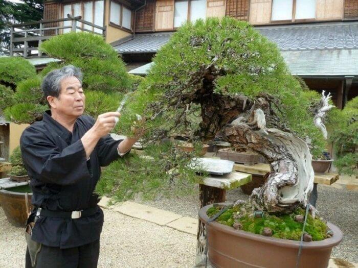 Cara menanam Bonsai Jepang