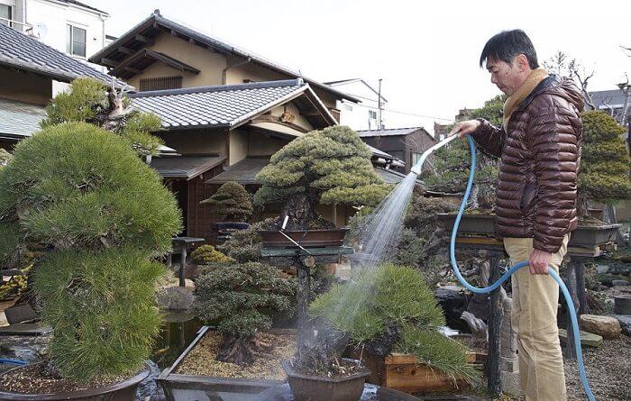 Cara menanam Bonsai Baik