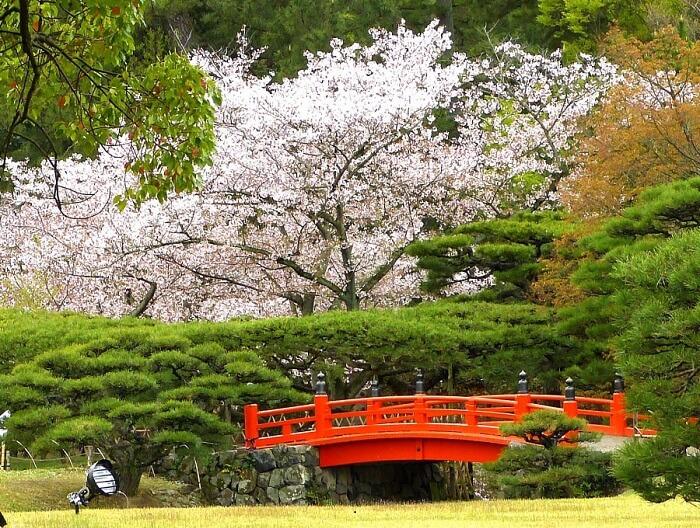 bunga-sakura-2
