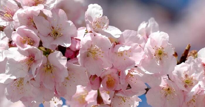 bunga-sakura-4
