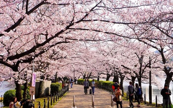 Bunga Sakura di Ueno Kouen