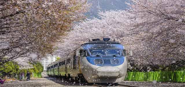kereta dan bunga sakura