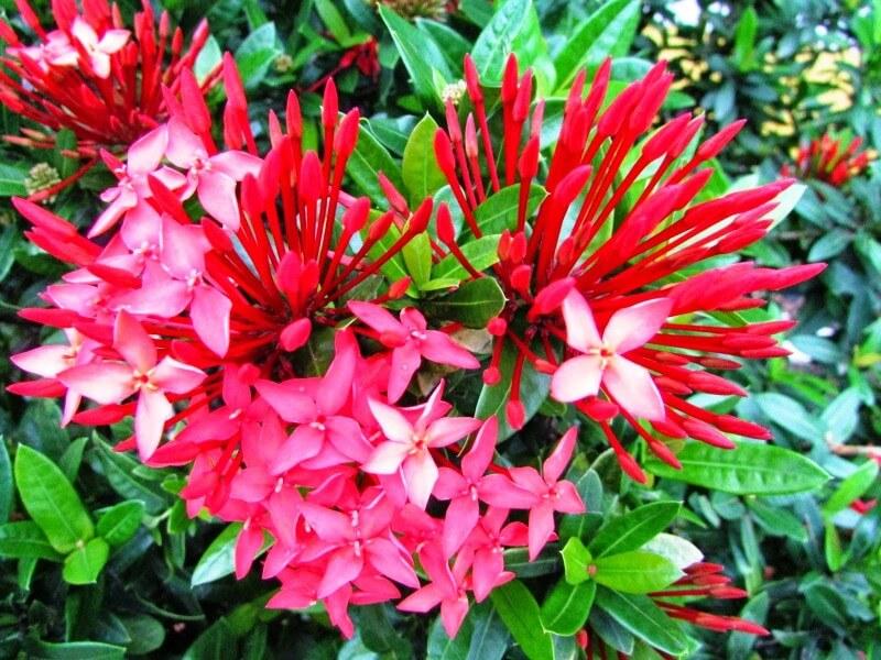 Tanaman Hias Bunga Soka