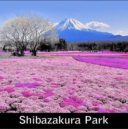 Paket Liburan ke Jepang Shibazakura Park